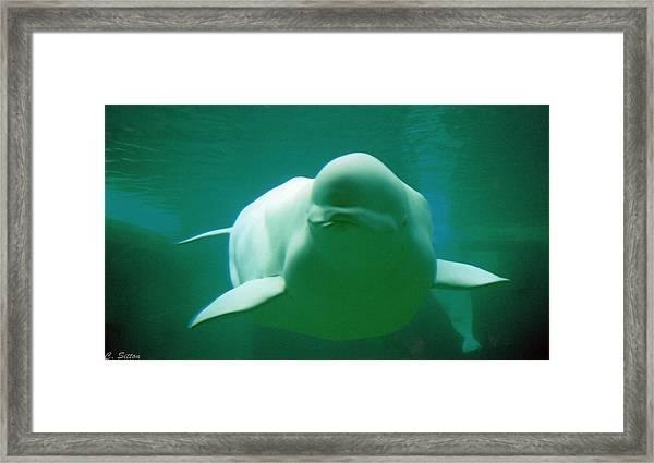 Beluga Whale Framed Print