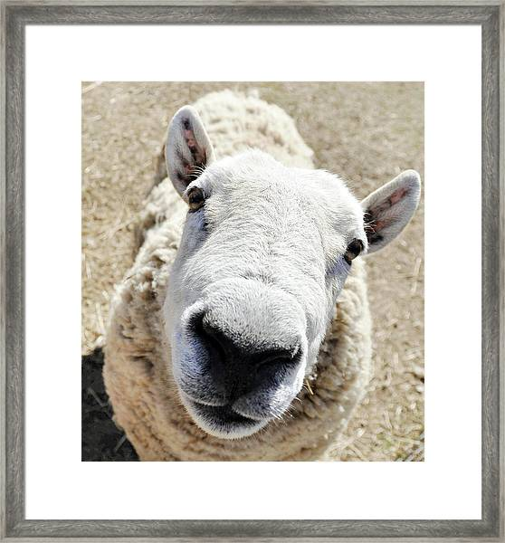 Benny The Sheep Framed Print