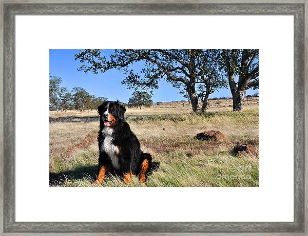 Bernese Mountain Dog In California Chaparral Framed Print