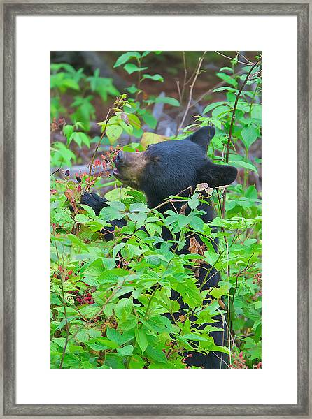 Berry Eating Bear Framed Print