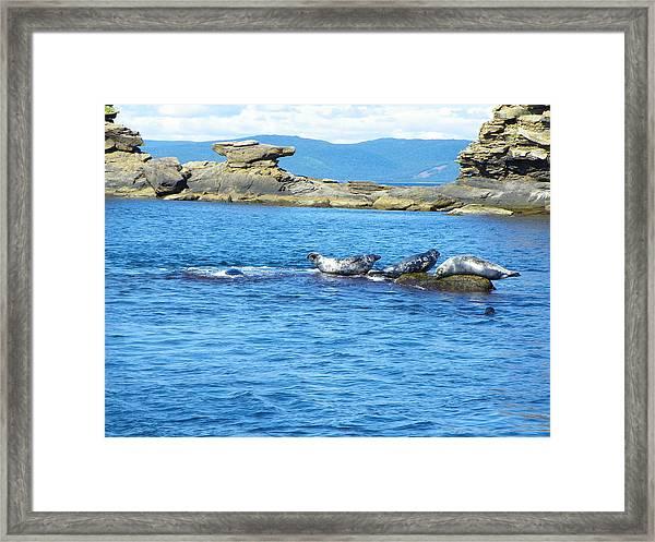Bird Island Seals Framed Print