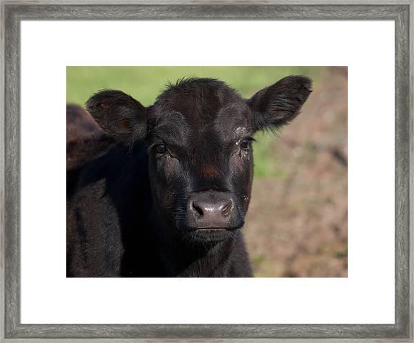 Black Cow Framed Print