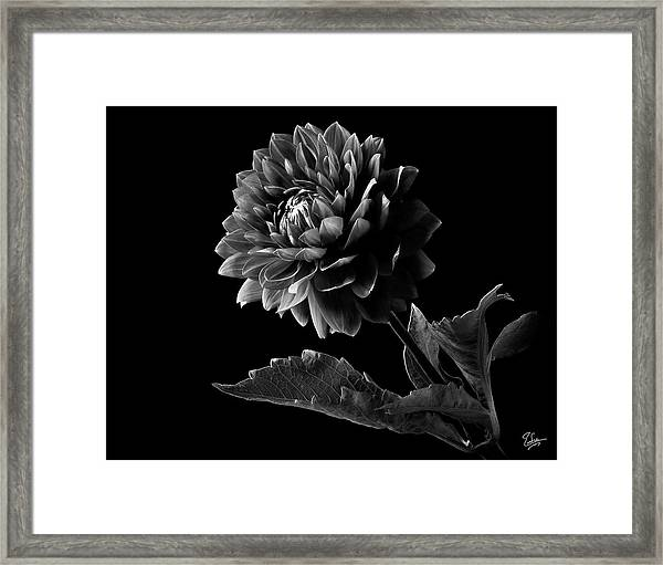 Black Dahlia In Black And White Framed Print