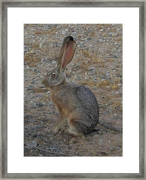 Black Eared Jack Rabbit Framed Print