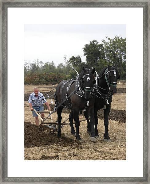 Black Percherons At Work Framed Print