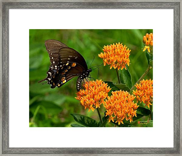 Black Swallowtail Visiting Butterfly Weed Din012 Framed Print