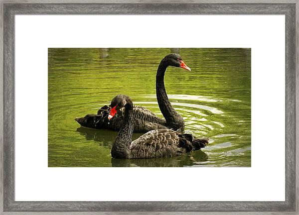 Black Swans Framed Print