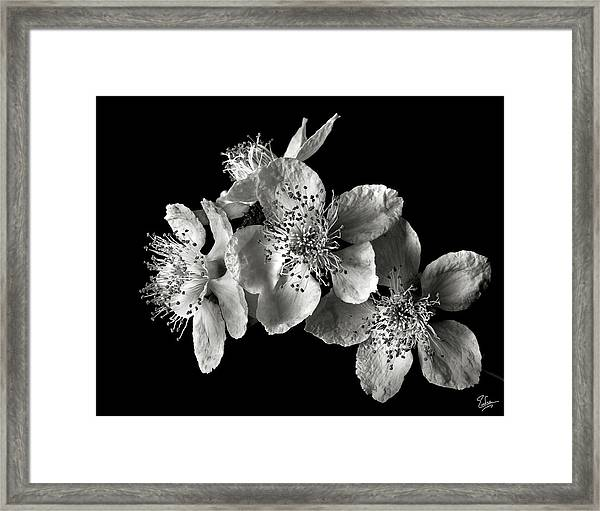 Blackberry Flowers In Black And White Framed Print