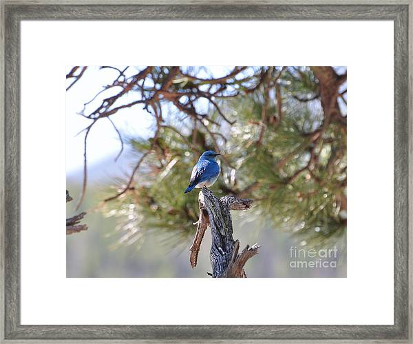 Blue Boy Framed Print