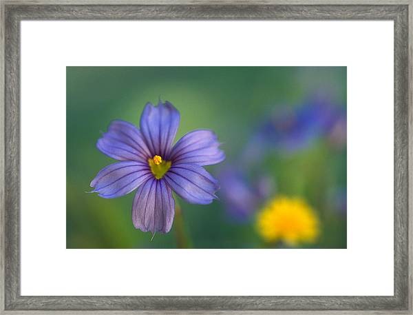 Blue Eyed Grass Framed Print