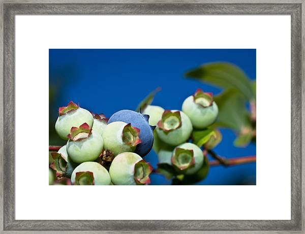 Blueberries And Sky Framed Print