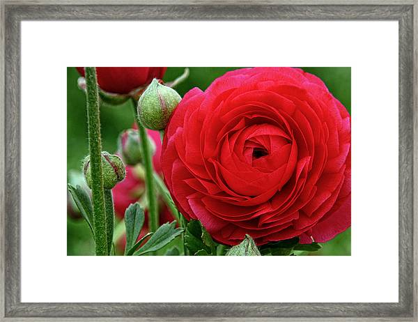Blush Framed Print by Donna Pagakis