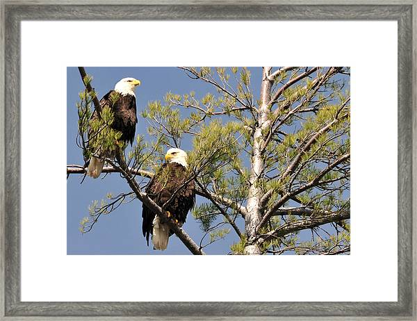 Bor River Eagles Framed Print