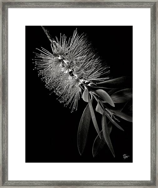 Bottlebrush In Black And White Framed Print