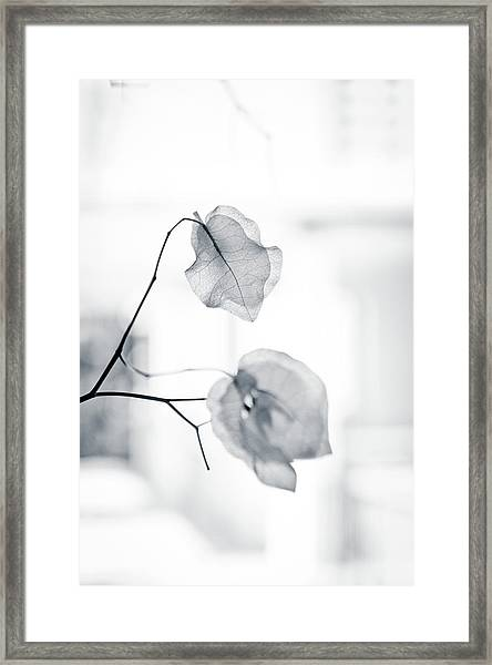 Bougainvillea - High-key Lighting Framed Print
