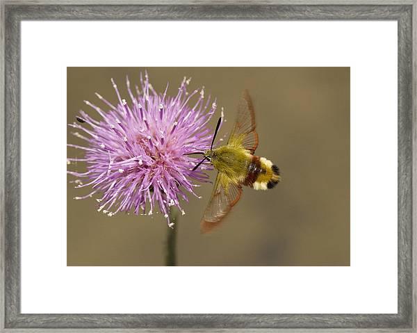Broad-boarded Bee Hawkmoth Framed Print
