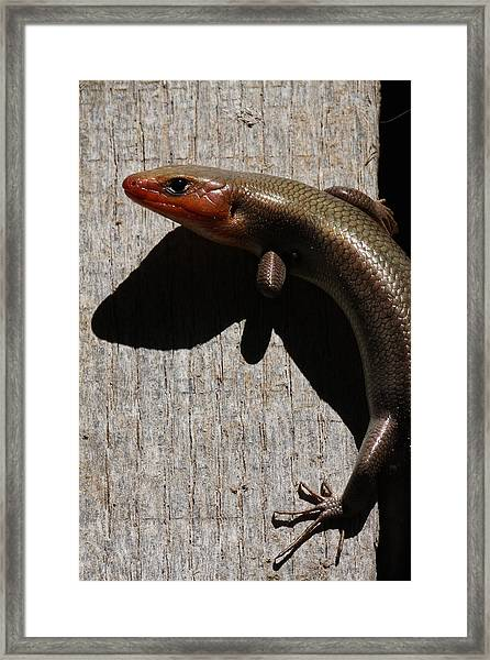 Broad-headed Skink On Barn  Framed Print