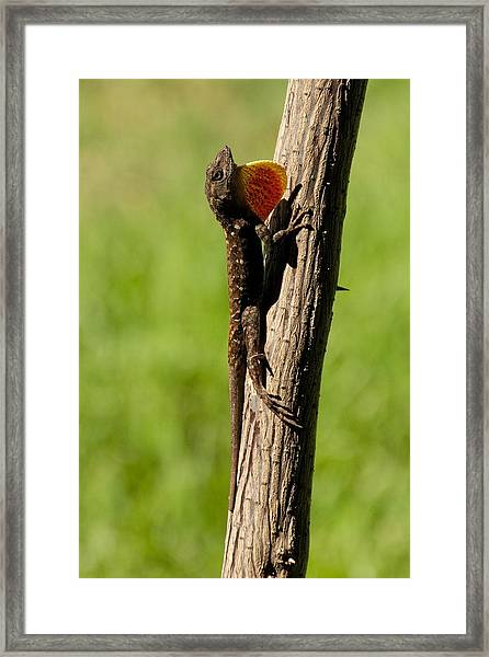 Brown Anole Displaying Framed Print