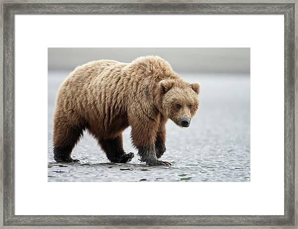 Brown Bear Stare Framed Print