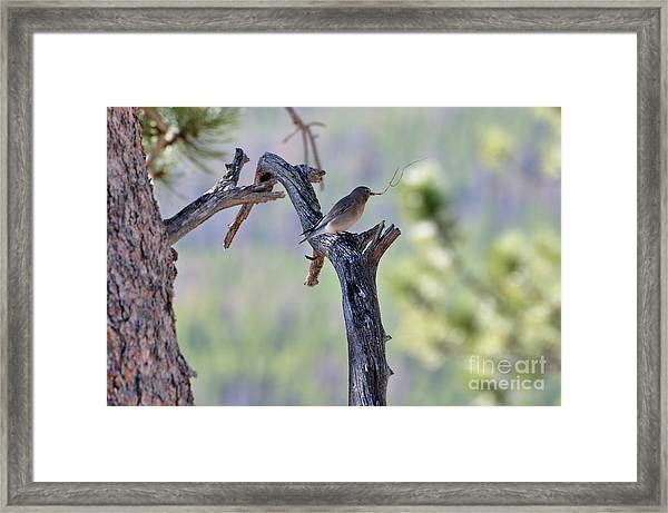 Building Her Nest Framed Print