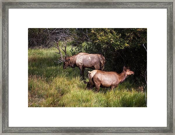 Bull Elk 7x7 Framed Print