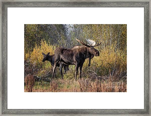 Bull Tolerates Calf Framed Print