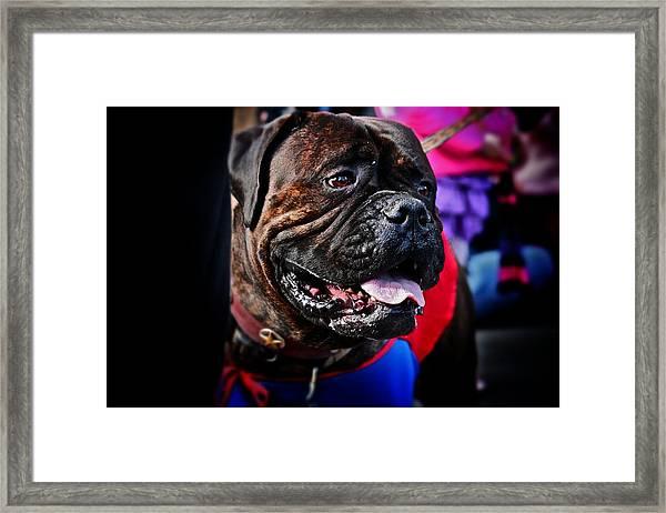 Bulldog At Barkus Parade 2 Framed Print