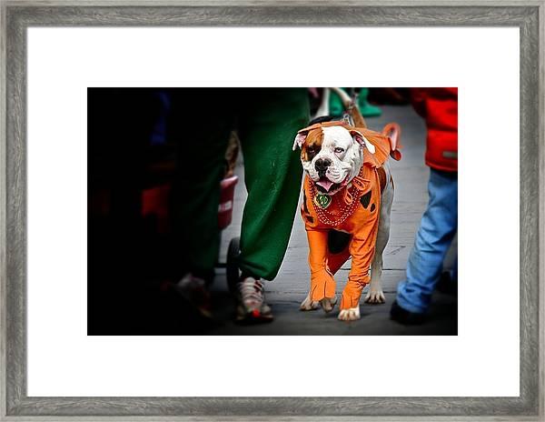 Bulldog In Orange Costume Framed Print