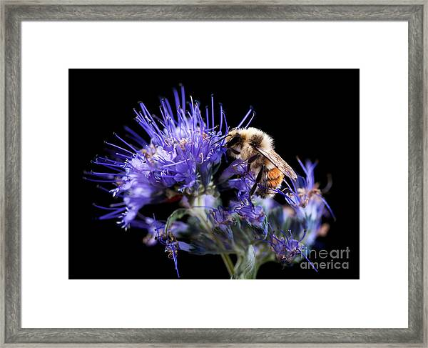 Bumble Bee On Blue Flower Framed Print
