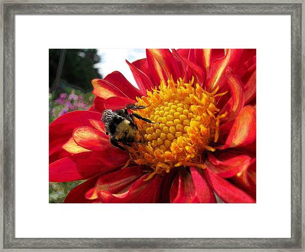 Bumblebee Dahlia Framed Print