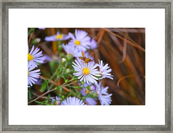Butterfly And Aster Framed Print