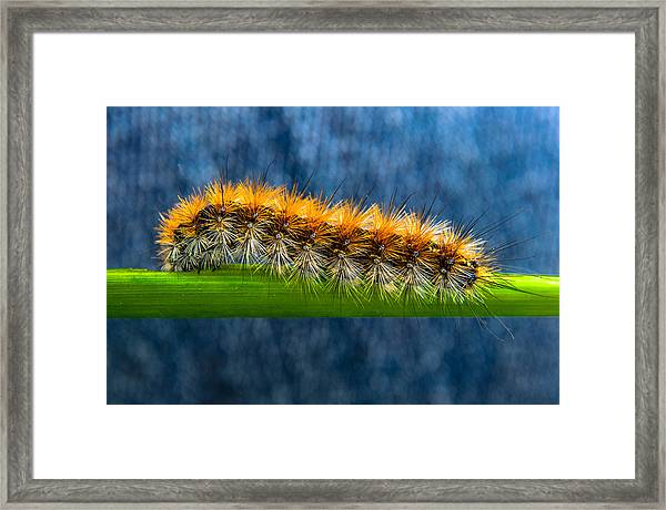 Butterfly Caterpillar Larva On The Stem Framed Print