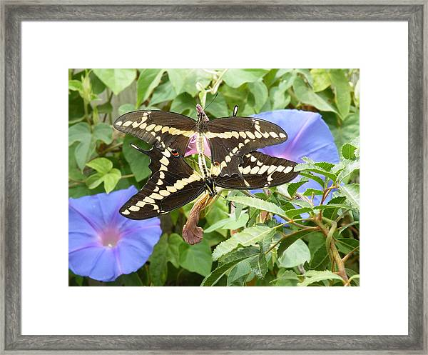 Butterfly Love Framed Print by Claire Plowman
