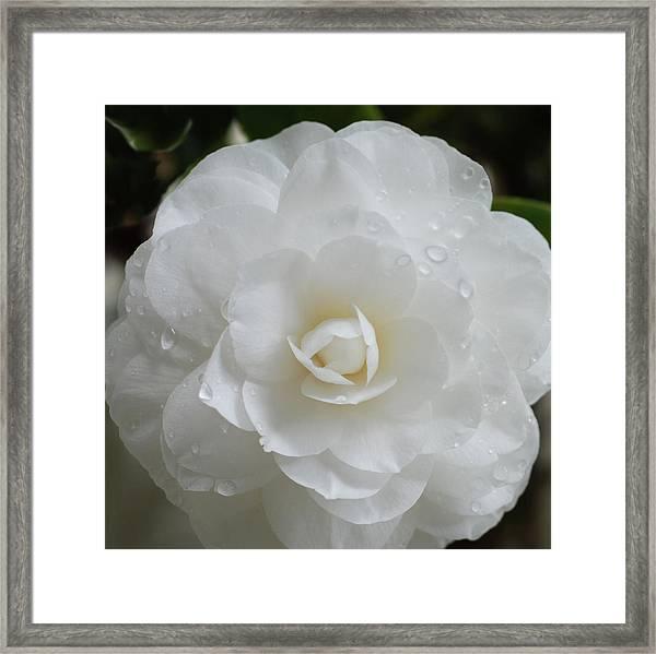 Camellia After Rain Storm Framed Print