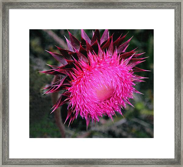 Canada Thistle Framed Print