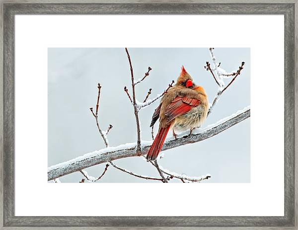 Cardinal I The Snow  Framed Print