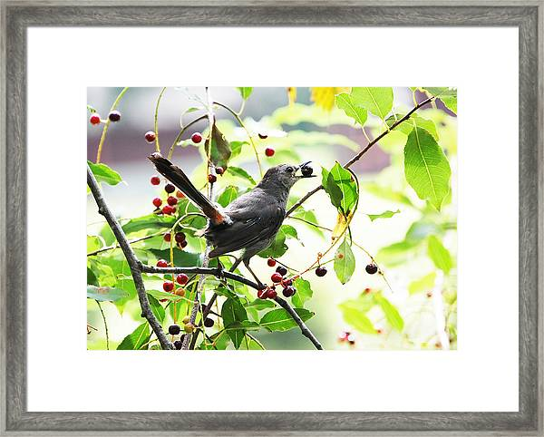 Catbird With Berry II Framed Print
