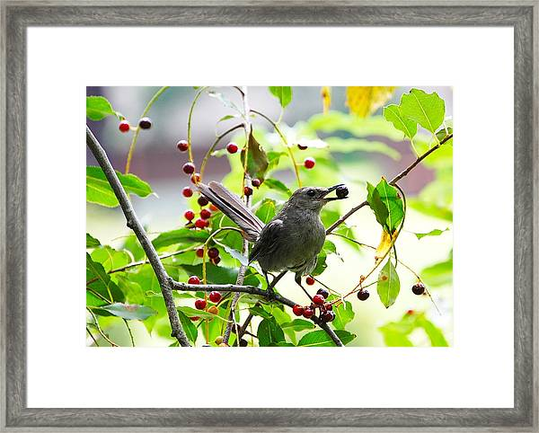 Catbird With Berry IIi Framed Print