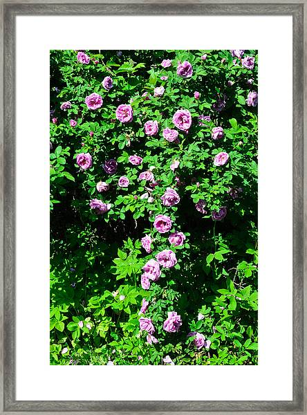 China Rose Framed Print