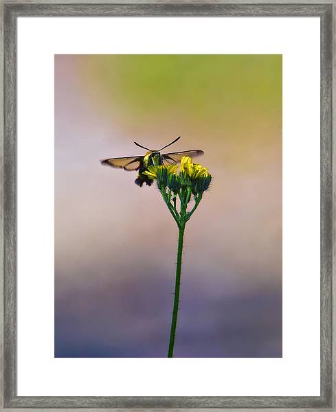 Clearwing Hummingbird Moth Framed Print