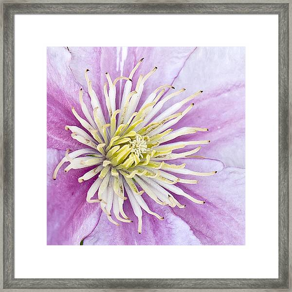 Clematis Up Close Framed Print