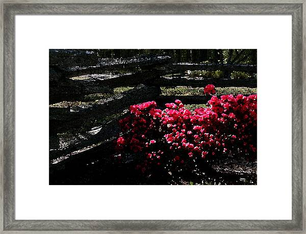 Colorful Azaleas Framed Print