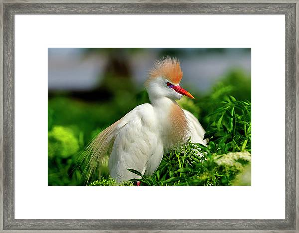 Colorful Cattle Egret Framed Print