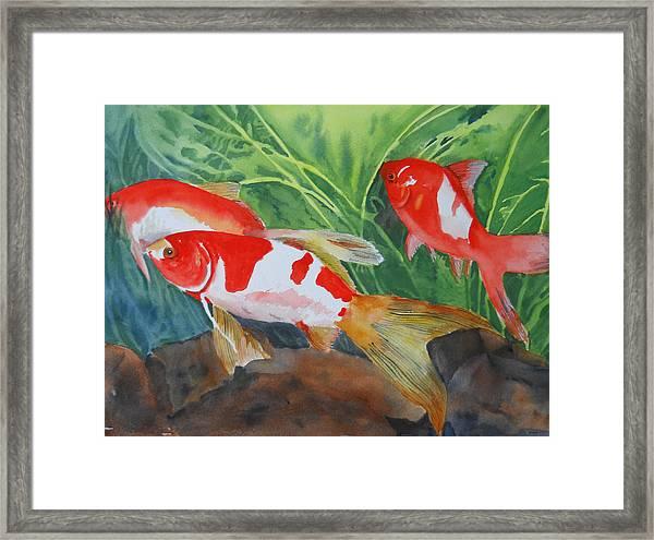 Comet Goldfish Framed Print