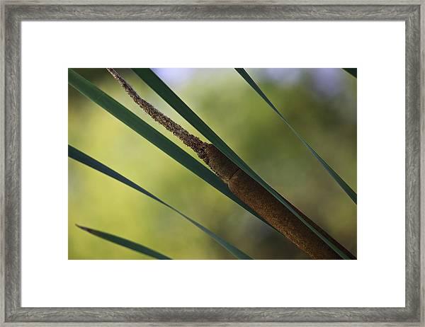 Common Cattail Framed Print
