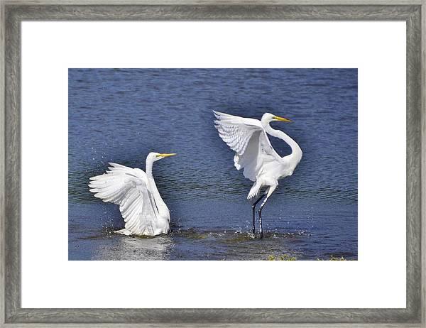 Common Egrets Framed Print