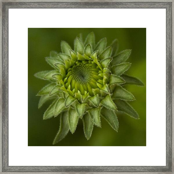 Cone Flower Studies 2012 - 4 Framed Print
