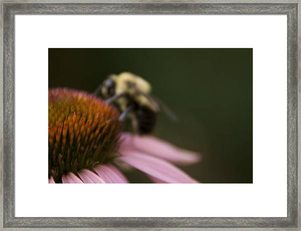 Cone Flower Studies 2012 - 5 Framed Print