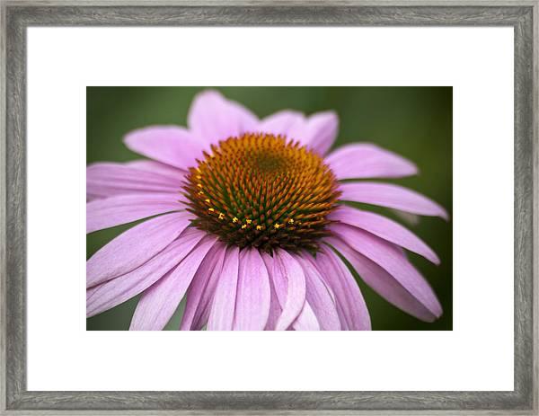 Coneflower Closeup Framed Print