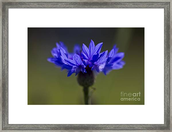 Cornflower Blue Framed Print